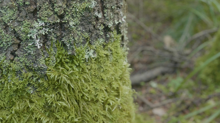 Beautiful green moss. Moss grows on the tree, beautiful background of moss. Leaf on Moss, autumn, forest, Nature,Wildlife