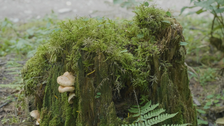 Old stump in the forest covered with moss With large roots. Moss on stump in the forest