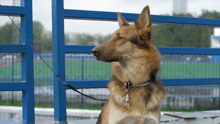 The dog in the village sits tied to a chain. Tied dog sits at the fence. Dog waiting for his master