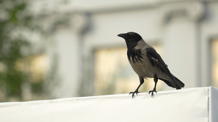 a crow is sitting on a Billboard and then flies away. Hooded Crow Flying in the Sky with Wings Spread Stock Photo