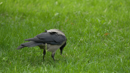 A raven holds his food prize. Portrait of a black crow, raven or rook. Black jungle crow standing and eating a piece of bread on the green grass.