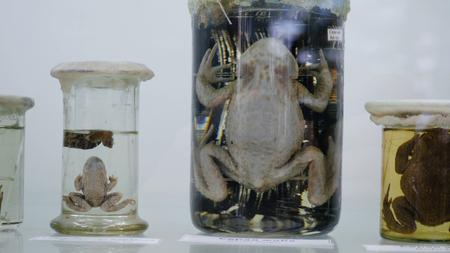 두꺼비는 포름 알데히드로 유리 항아리에 보존되어 있습니다. 개구리 표본 보존.