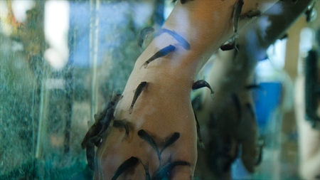 Garra Rufa in a fish spa surrounded the fingers of a mans hand. Close-up. Manicure fish spa beauty treatment. Hand and finger skin care treatment in water with the fish rufa garra, also called doctor fish, nibble fish and kangal fish