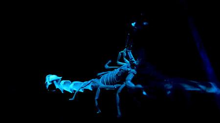 White and blue scorpio on black background. Bioluminescent scorpion under ultraviolet light at a zoo. Scorpion under ultraviolet light.