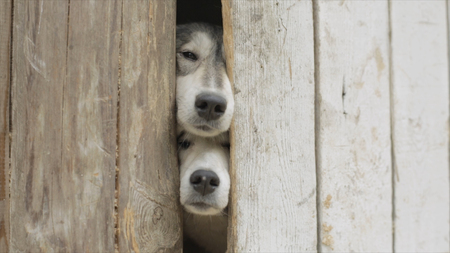 Old dogs Looking through a Fence. Video. Sad tan and white dog looking through hole in timber fence. Black and white cute dogs looking through closed gate Stock Photo
