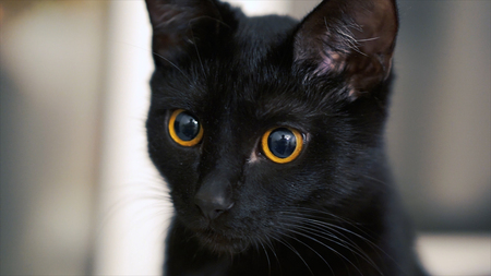 The black cat with yellow eyes. Clip. Black cat with red eyes at home.