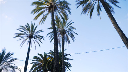 View of the tall palm trees on a Sunny day. Stock. Beautiful tall palm trees in urban environment