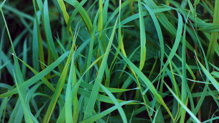 Fresh green grass background. Green grass close up with dew drops. Wet grass after the rain. Close-up leaves