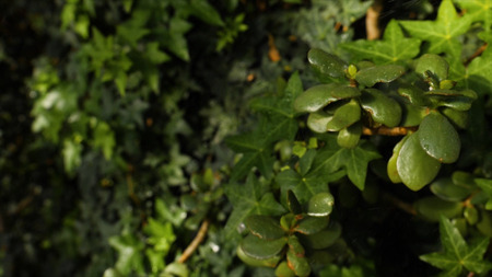 Close-up of ivy background. Beautiful natural background of lush green ivy and plants with splashed water drops in sunlight.
