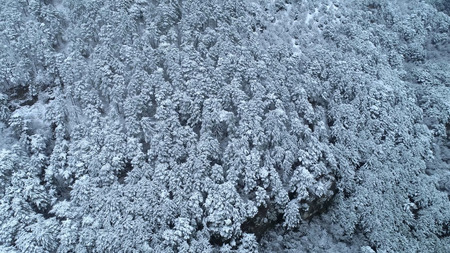 Top down view of the young snow-covered coniferous forest. Shot. Background of snow-covered coniferous trees. Winter view