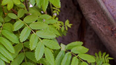 Close-up of elongated green leaves on tree branches. Stock footage. Beautiful green leaves of simple tree rustle from light breeze in forest. Freshness of natural air in forest
