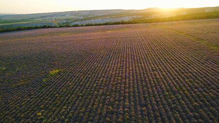 Campo rural en la salida del sol de fondo púrpura. Disparo. Vista superior de hermosos campos púrpuras de lavanda en el fondo del horizonte con los primeros rayos de sol. Paisaje matutino con campos de lavanda.