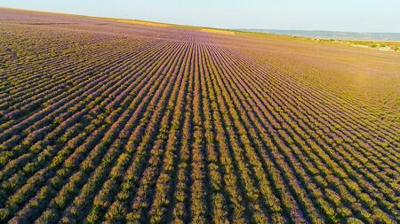 Top view of lavender fields in sun. Shot. Wonderful blooming lavender grows in rows on agricultural field. Rays of dawn sun fall on beautiful lavender bushes Stock fotó
