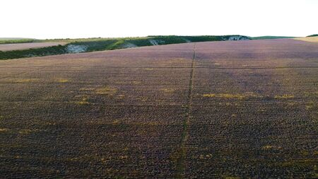 Landscape of large lavender field. Shot. Top view of picturesque purple lavender field on horizon background with sky. Stripes on lavender field left by farm equipment