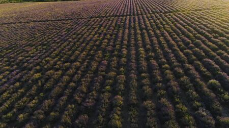 Top view of beautiful rows of lavender field. Shot. Purple lavender bushes in farmers field. Beautiful and healing lavender plants