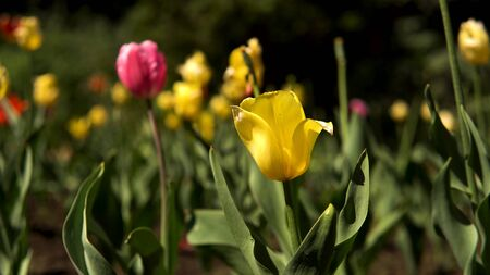 Beautiful bright colorful multicolored tulips on a large flower-bed in the city garden with people walking on the background. Stock footage. Spring yellow and pink blooming flowers.