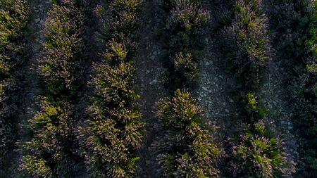 Top view of beautiful lavender bushes. Shot. Beautiful and fragrant bushes of purple lavender. Beautiful lavender bushes planted in row in farmers field Фото со стока