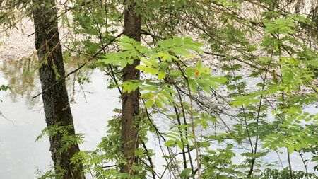 Close up of young bush leaves swaying in the wind with a river flowing behind it. Green forest and fast flowing river.