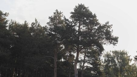 Evergreen high trees on cloudy sky background. Natural landscape of coniferous trees at the edge of a spring forest in a summertime.