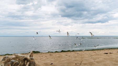 Flock of seagulls on the beach on the Gulf of Finland, St. Petersburg, Russia. Concept. Birds fly above the rippled sea near sandy shore on cloudy sky background.