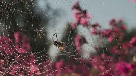 Spider web in the sun with waterdrops on blooming pink flowers background. Motion. Close up of spider insect on the web in the field in a summertime. 写真素材