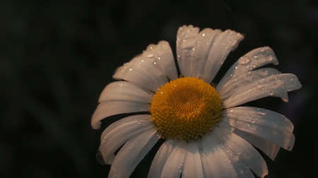 Close up of drops of dew on a camomile soft flower. Motion. Droplets of rain water falling down on white tender petals of chamomile flower bed isolated on blurred background. 版權商用圖片