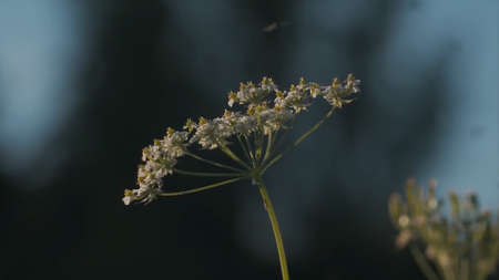 Close up of heracleum um sibiricum plant surrounded by many flies. Motion. Insects flying around the grass and flowers of a summer field, natural rural landscape.