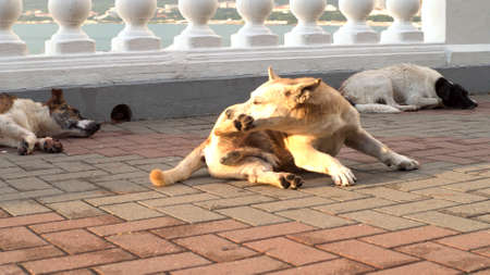 Homeless dog using her teeth to scratch a paw. Media. Poor brown dog itches from fleas while lying on paved sidewalk under the bright summer sun. Imagens