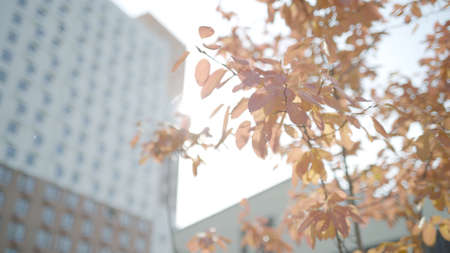 Red tree branches on background of residential building. Action. Young tree with red leaves near residential building. Young trees near residential building on sunny autumn day Banco de Imagens