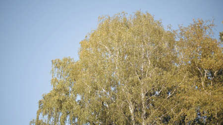 Foliage of a birch tree swaying in the wind. Action. Bottom view of a beautiful summer tree leaves fluttering in the wind on blue clear sky background. Stock fotó