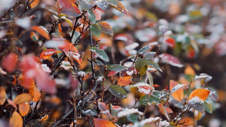 Close up of colorful autumn foliage wet from rain. Video. Natural background wuth a bush branches with green, red, yellow leaves with rain drops. Stok Fotoğraf