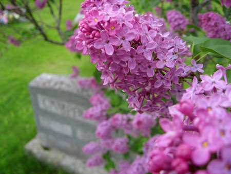 Closeup of lilac flowers with gravestone in background. Shallow depth of field with only a few flowers in focus.