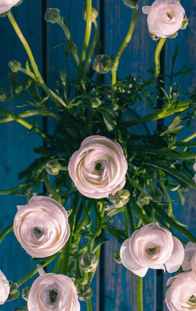 White / Pink Ranunculus / Flowers / Persian Buttercup, on a blue bench Standard-Bild - 133971174