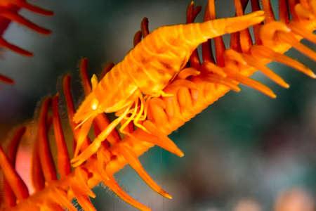 Shrimp Perches on a Sea Star