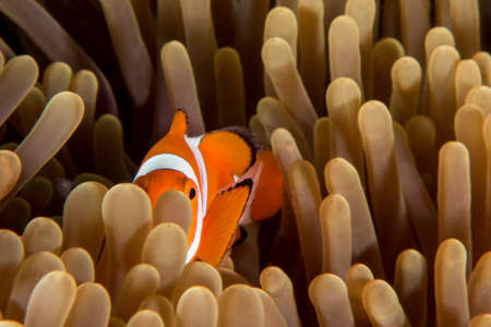 Clown Fish (Nemo) Peeking Around Anemone