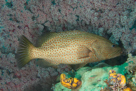 Coral Trout in Front of Coral