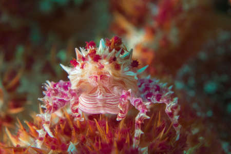 Tiny Candy Crab Perched on Coral