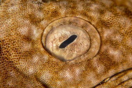 Eye of a Wobbygong Shark Stock Photo