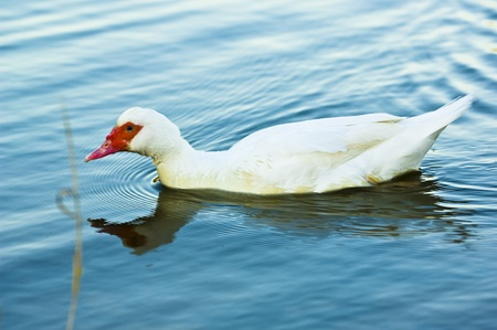 White duck swimming in a blue lake photo