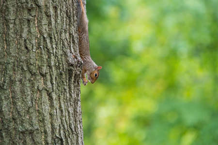 urban wildlife: A Squirrel eating tree nut  up side down on  a oak tree