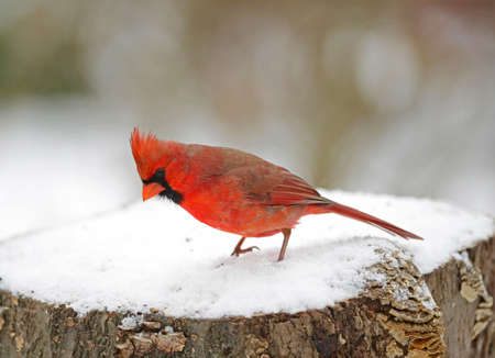 A male Northern Cardinal in the snow