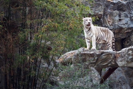 White tiger on the rock photo