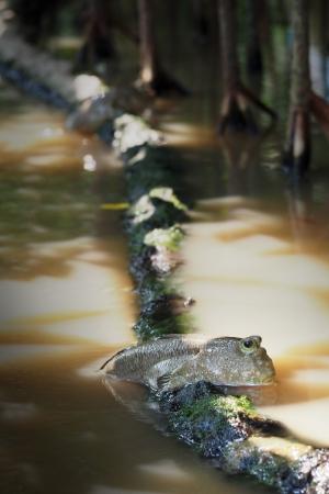 lungfish: Mudskipper in the mangrove forest