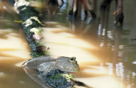 Mudskipper in the mangrove forest photo