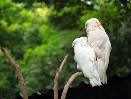 subsist: Couple of Cockatoo