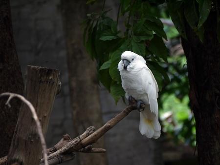 subsist: Cockatoo  Cacatua moluccensis