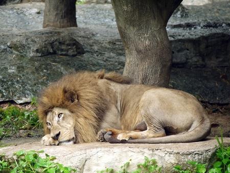 lies down: lazy lion lies down