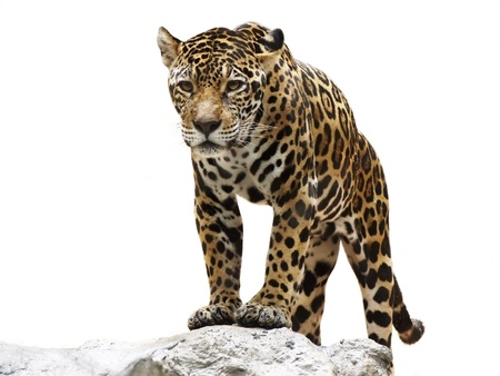 leopard on the rock photo