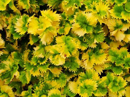 florae: Alkaloid plant texture Stock Photo