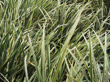 florae: Grass leaves texture Stock Photo